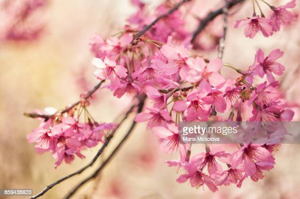Blossoming Pink Crabapple Tree