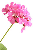 Blossoming pink geranium isolated on white background