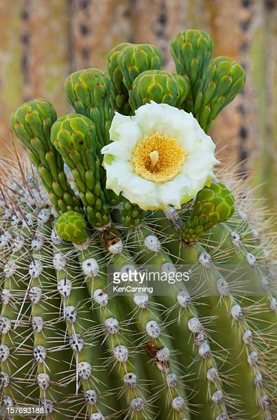 Blossoming Saguaro Catus