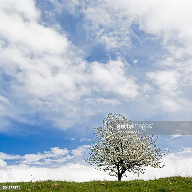 Blossoming tree and sky
