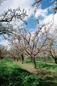 Blossoming trees in orchard