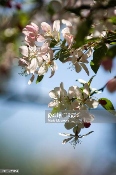 Blossoming White Crabapple Tree