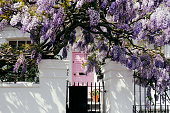 Blossoming wisteria tree covering up a facade of a house in Notting Hill, London on a bright sunny day