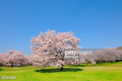 Blossoming Yoshino cherry trees in a field, Tokyo, Japan