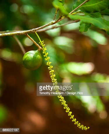 Blossoms and a single unripe nut are seen at a macadamia farm : Stock Photo