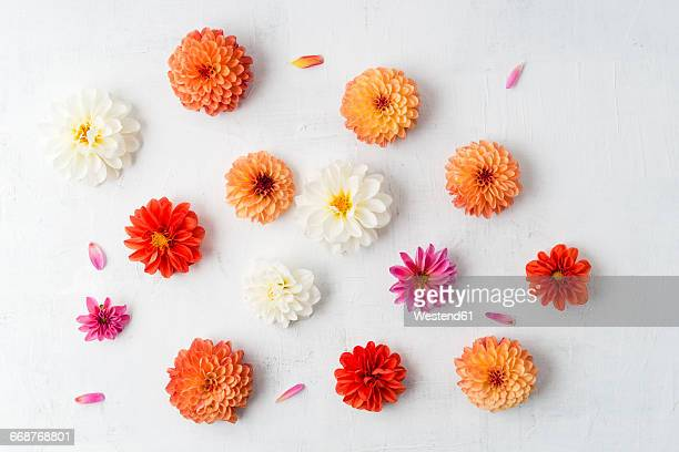 Blossoms of different dahlias on white ground
