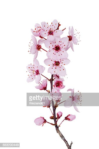 Blossoms of purple-leaf plum in front of white background