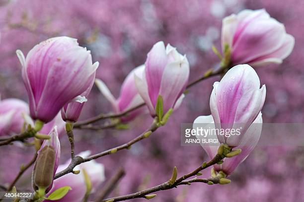 Blossoms on a flowering magnolia tree are pictured on March 25 2014 in Dresden eastern Germany The plant is named after French botanist Pierre Magnol...