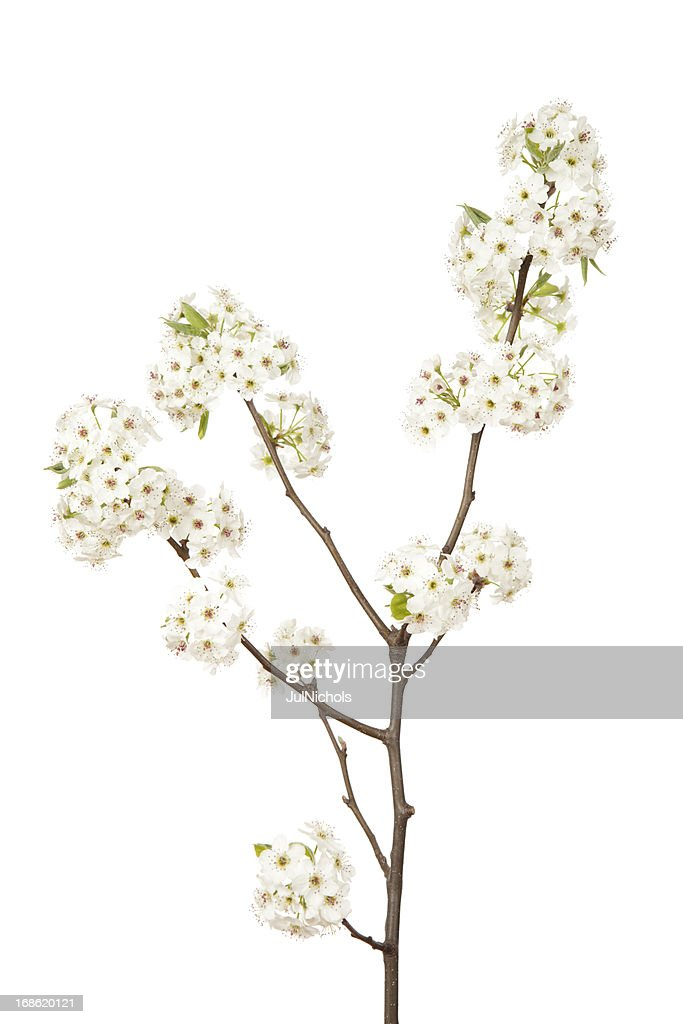 Blossoms on Pear Tree
