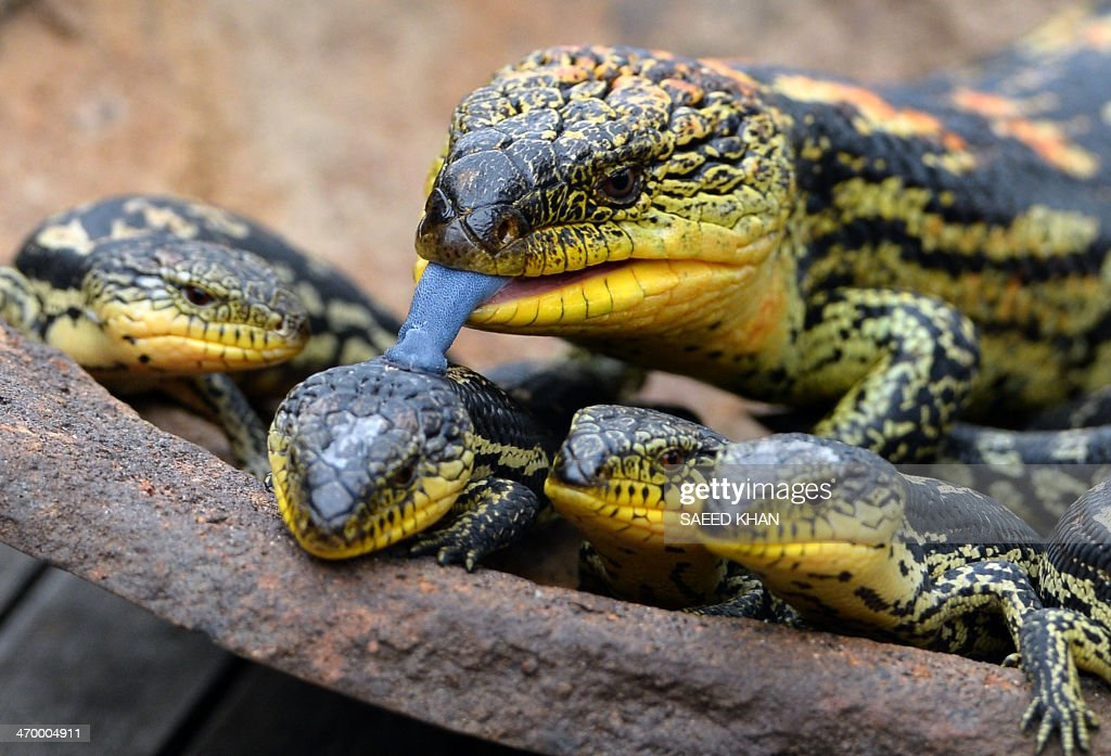 A Blotched Blue-Tongue lizard licks one of its offspring out of seven as they are displayed for the first time at the Wild Life Sydney Zoo on February 18, 2014. The Blotched Blue-Tongue lizards which were born at the Wild Life Zoo were released into their new exhibit for the first time. AFP PHOTO / Saeed KHAN