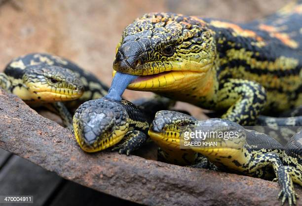 A Blotched BlueTongue lizard licks one of its offspring out of seven as they are displayed for the first time at the Wild Life Sydney Zoo on February...