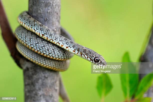 Blotched Snake -Elaphe sauromates-, juvenile, climbing, Pleven region, Bulgaria