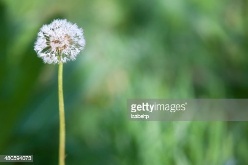 Blow and wish : Stock Photo