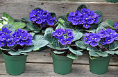Pots of pretty blue african violet flowers