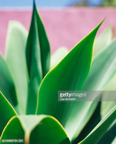 Blue Agave, close-up