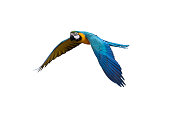 blue and gold macaw flying on isolate background, clipping path