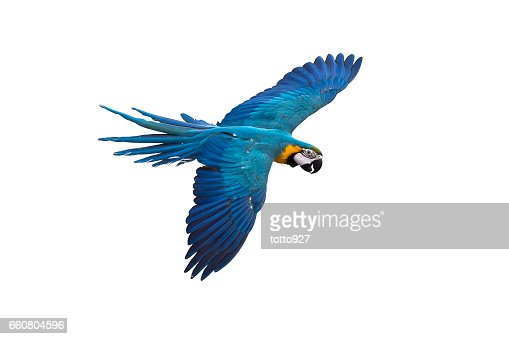 blue and gold macaw flying on white background, clipping path : Stock Photo