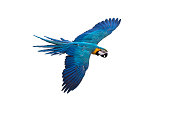 blue and gold macaw flying on isolated background,, clipping path