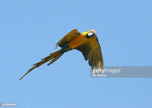 Blue and Gold Macaw (Ara ararauna) in flight