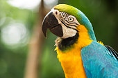 Gold and Blue macaw in natural setting near Iguazu Falls, Foz do Iguacu, Brazil.