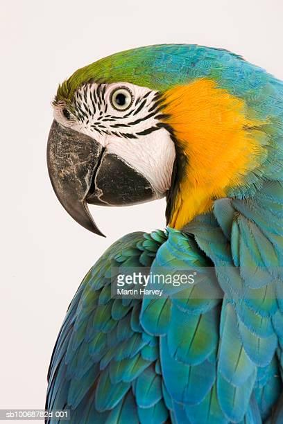 Blue and Gold macaw (Ara ararauna)