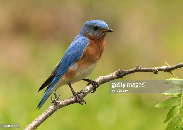 Blue and orange Eastern bluebird on a branch