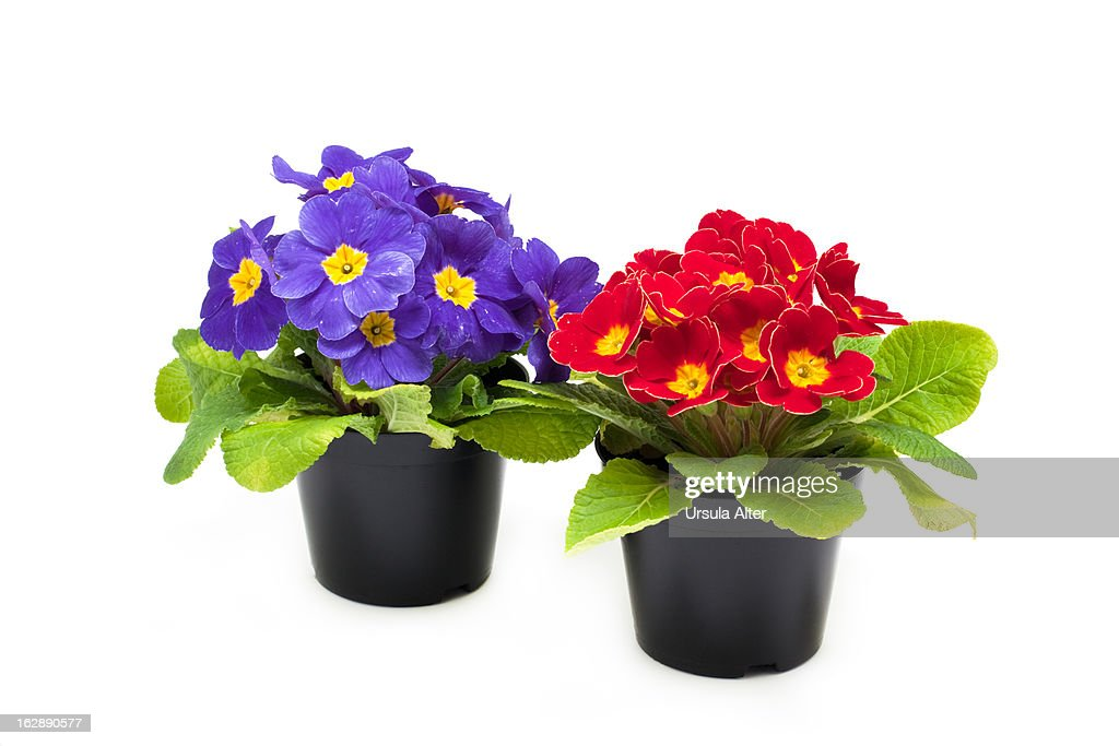 blue and red primroses