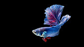 Blue and red siamese fighting fish Halfmoon, betta fish isolated on black