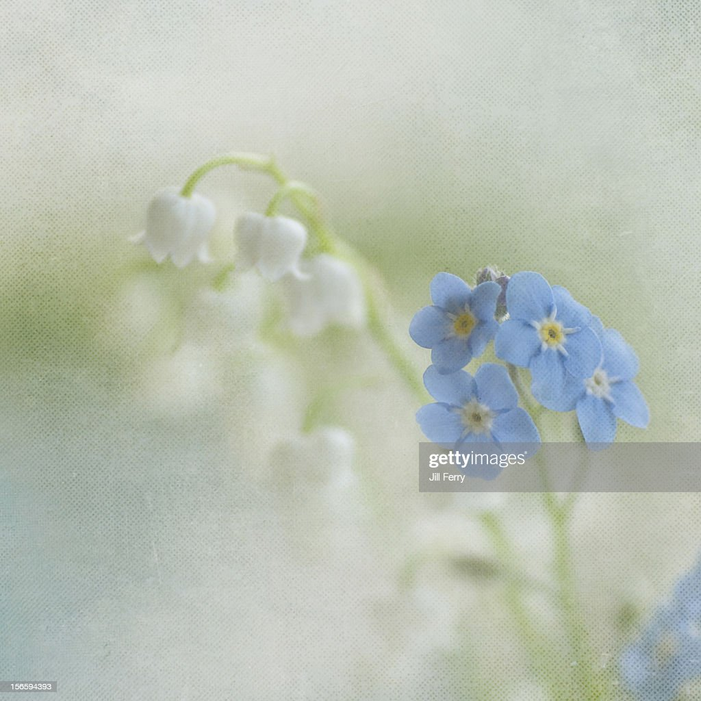 Blue and white flowers : Stock Photo