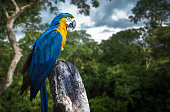 Blue and Yellow Macaw on forest