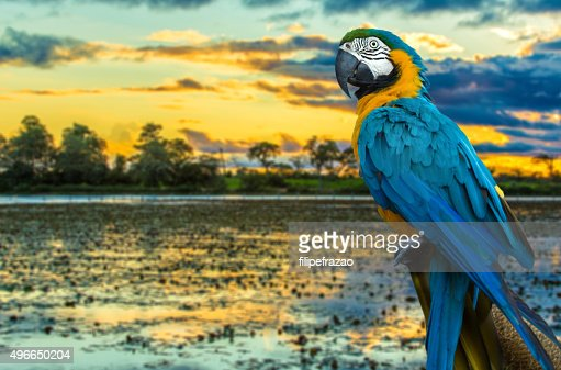 Blue and Yellow Macaw on the nature : Stock Photo