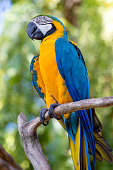Blue and Yellow Macaw Parrot , Ara ararauna , also known as the Blue and Gold Macaw. Bali, Indonesia. Close up