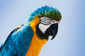 Closeup portrait of a blue and yellow Macaw parrot (Ara ararauna) in Lanzarote, Canary Islands, Spain.