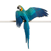 Blue and Yellow Macaw, Ara Ararauna, perched on pole in front of white background  [url=http://istockphoto.com/file_search.php?text=http://www.istockphoto.com/user_view.php?id=902692&action=file&membe