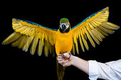 Blue and Yellow/gold Macaw with its wings spread against blackground