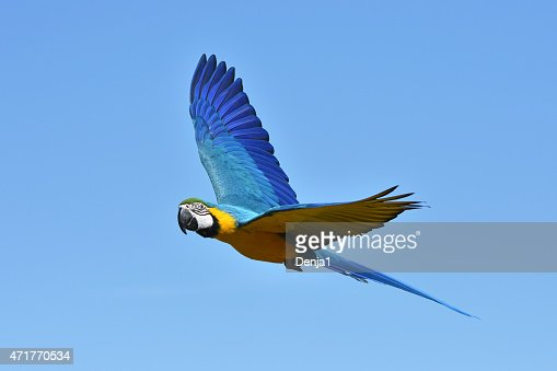 Blue and yellow Macaw (Ara ararauna) : Stock Photo