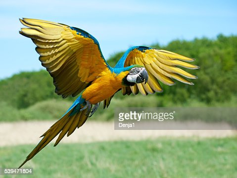 Blue and yellow Macaw (Ara ararauna) : Stock Photo