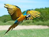 Blue and yellow Macaw in flight with vegetation in the background