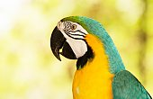 A Beautiful and lovely of Blue and Yellow Macaw focus from head to wing background blur