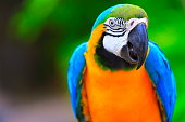 Blue and Yellow macaw tropical BIRD, brazilian rio rainforest