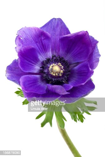 Blue Anemone Flower Stock Photo | Getty Images