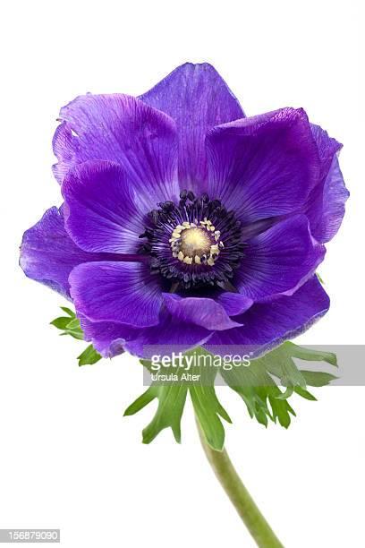 blue Anemone flower