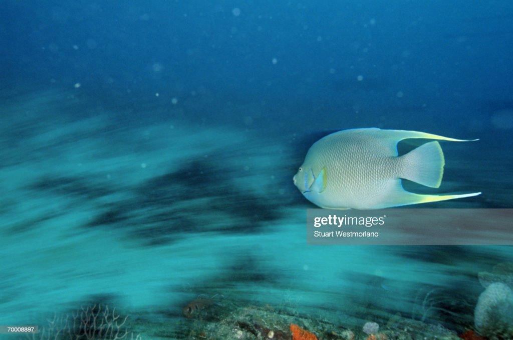 Blue Angelfish (Holacanthus bermudensis) Bahamas : Stock Photo