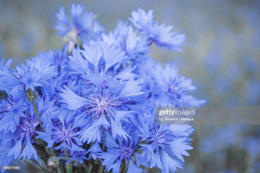 Blue background with cornflower
