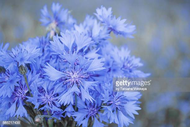 Blue background with cornflower