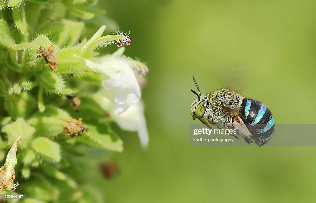 Blue Banded bee : Stock Photo