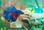 betta fish Aquarian fish swims in aquarium water