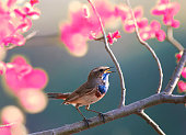 a blue bird sings in the spring garden blooming pink on a tree branch