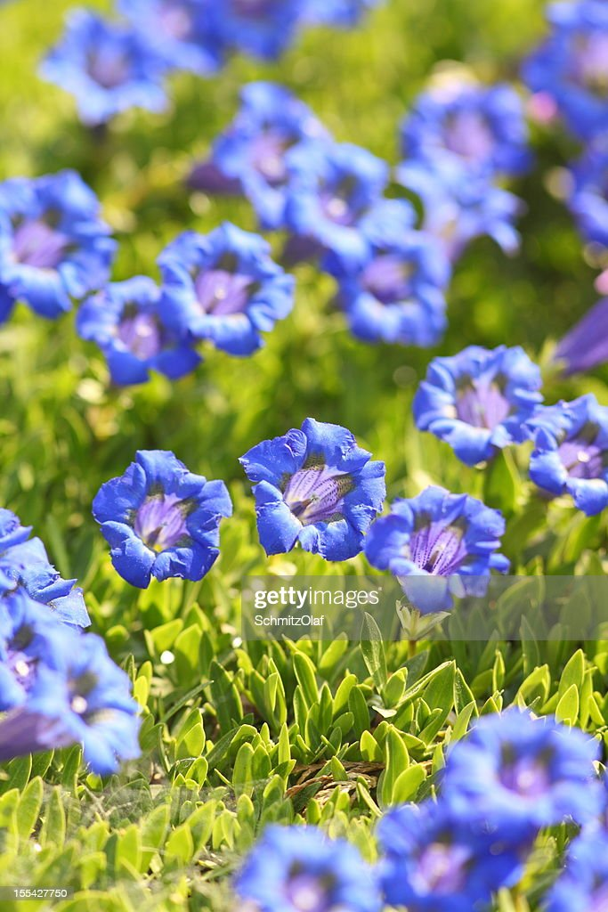 blue blooming gentian in Alpes