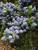Portrait view of ornamental Blue Blossom Ceanothus privacy hedge.